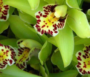 Orchidée, fleur fragile ou reine de la survie ?