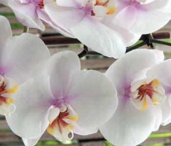 Phalaenopsis, l'orchidée préférée des français