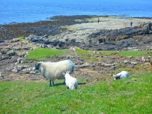 moutons ecossais